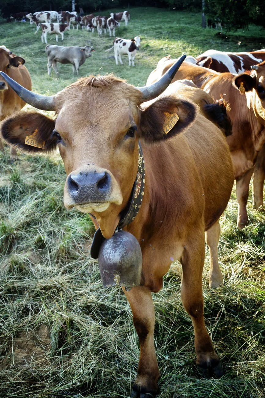 brown cow