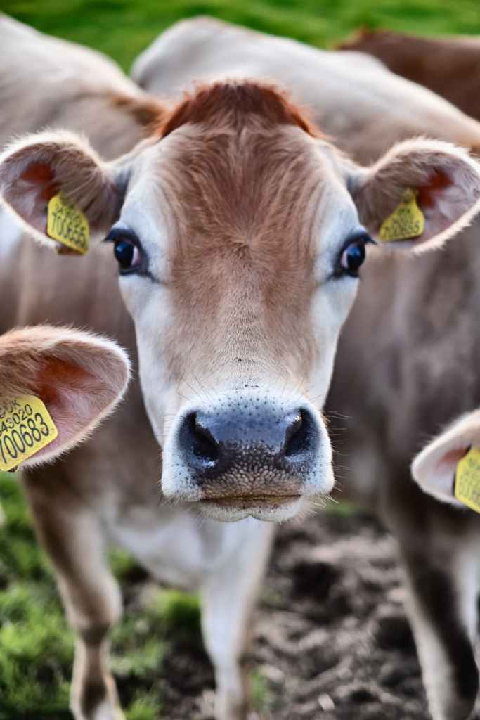 animal portrait of a brown cattle