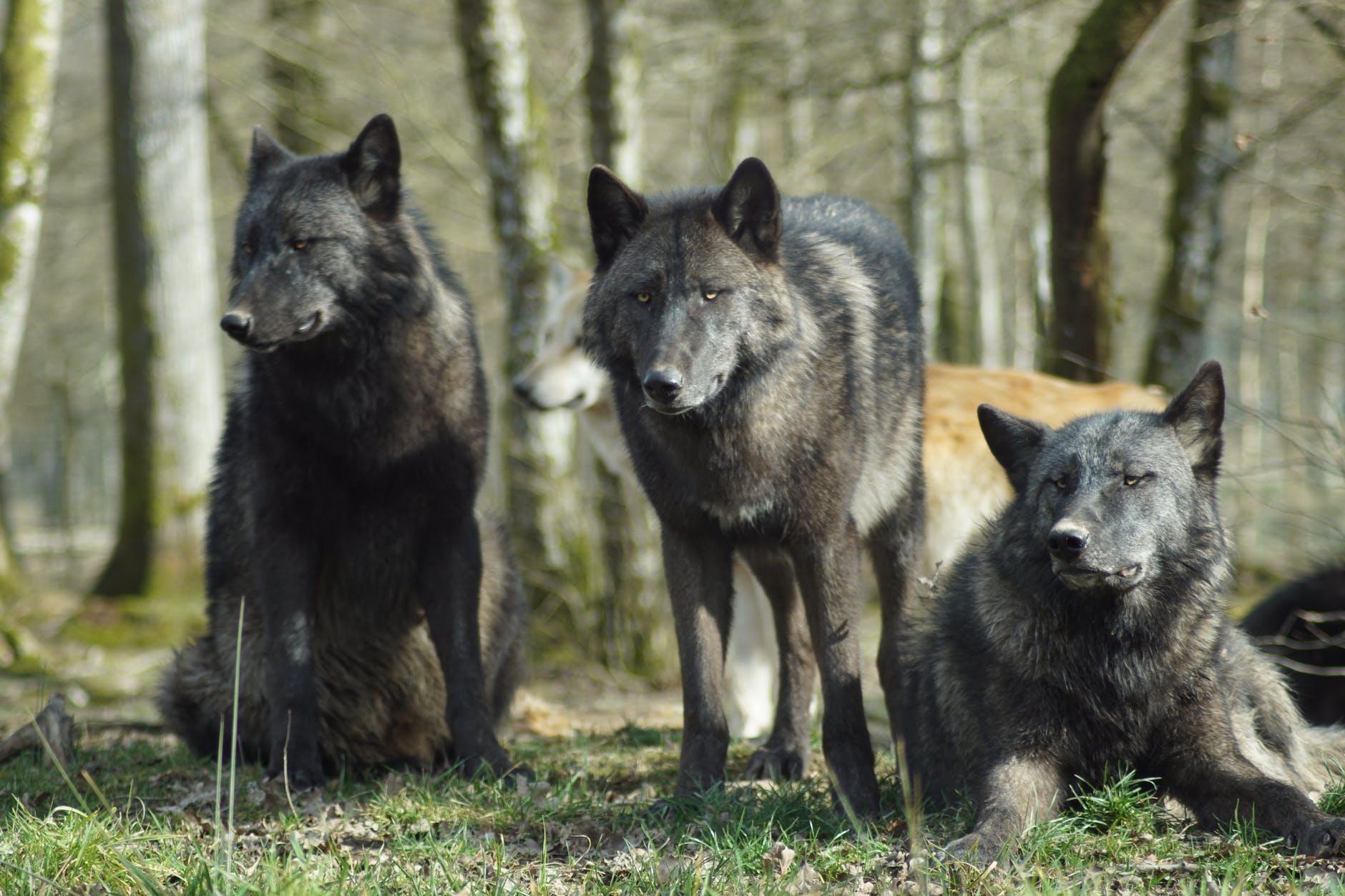black wolf on green grass