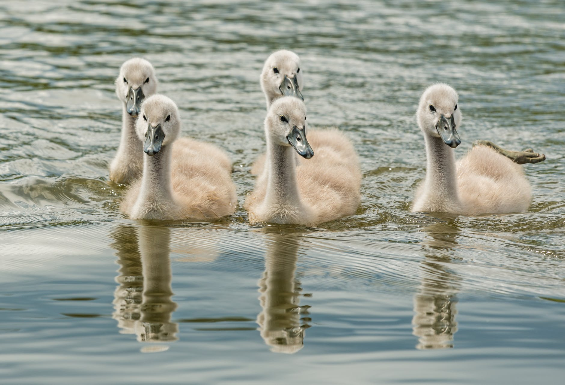 white ducks on water